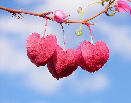 flowering hearts