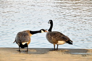 wild-geese-716289_1280